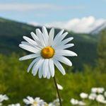 Daisydreamer - profile picture